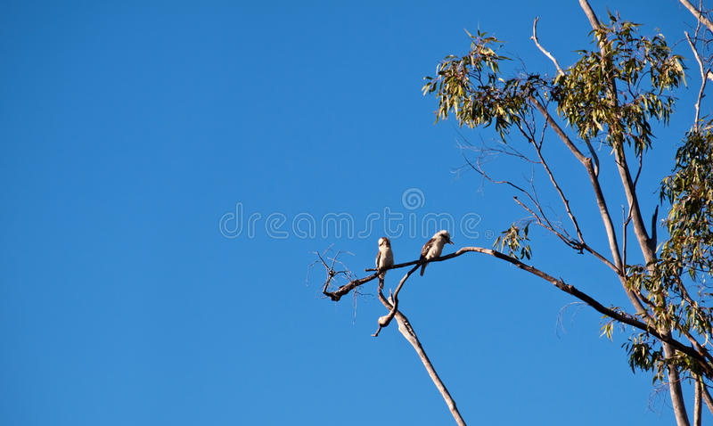 Kookaburra birds in an Australian gum tree royalty free stock photography