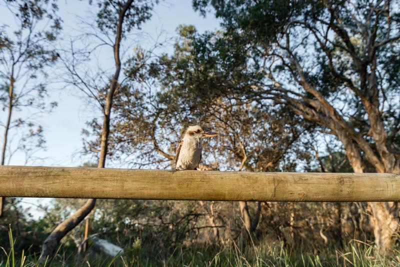 Kookaburra at Camp on Moreton Island in Queensland Australia royalty free stock image