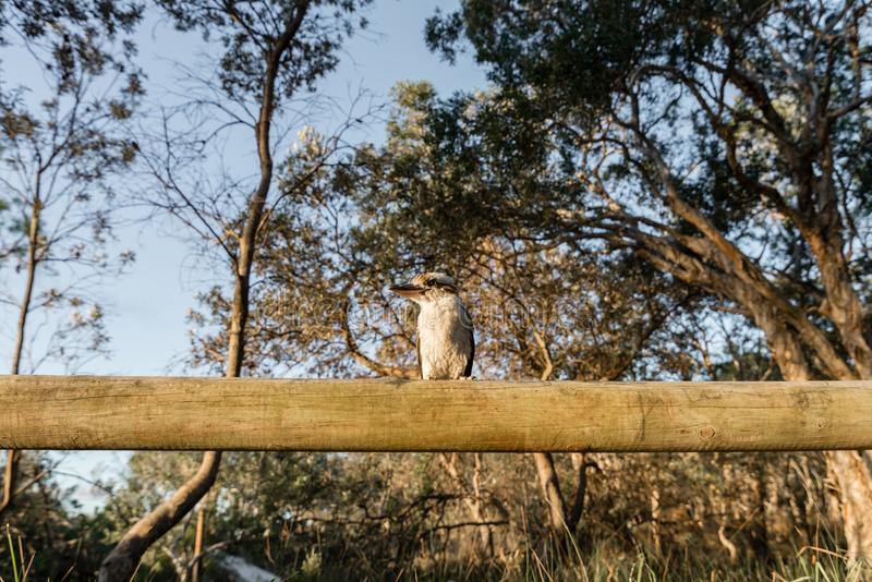 Kookaburra at Camp on Moreton Island in Queensland Australia royalty free stock images