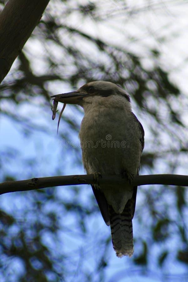 Kookaburra con la lucertola fotografia stock