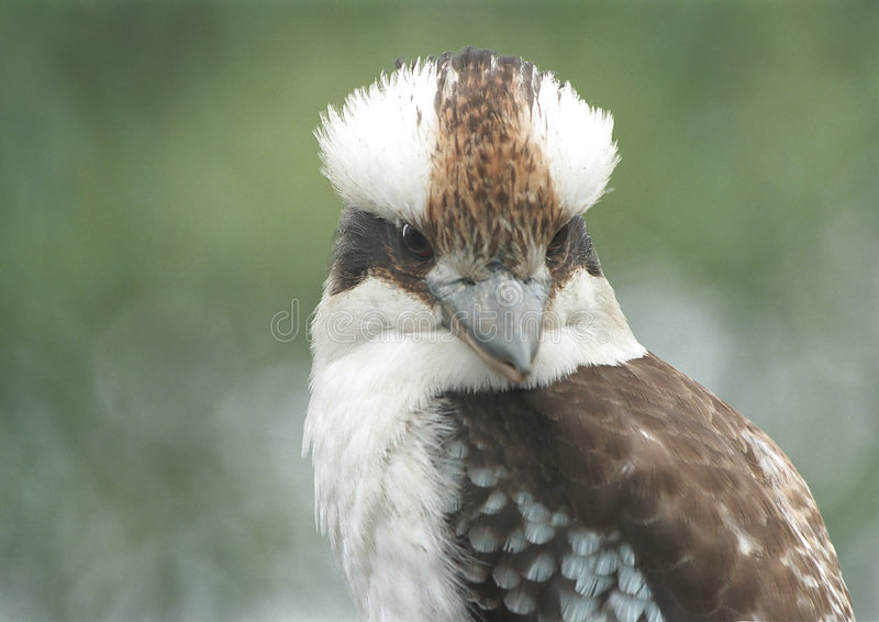Download Kookaburra de risa foto de archivo. Imagen de pájaro, pista - 25670