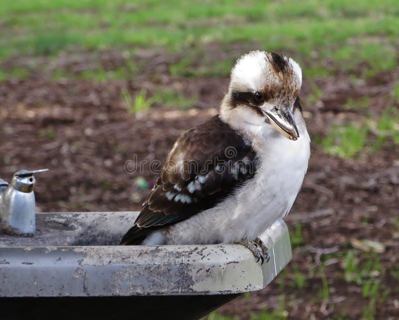Kookaburra di risata sulla vasca di gorgogliamento fotografia stock
