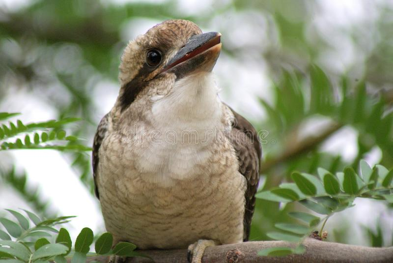 Kookaburra dziecko obraz stock