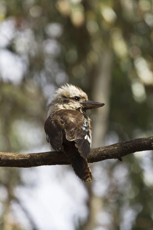 Kookaburra en el parque nacional de Grampians, Australia fotos de archivo
