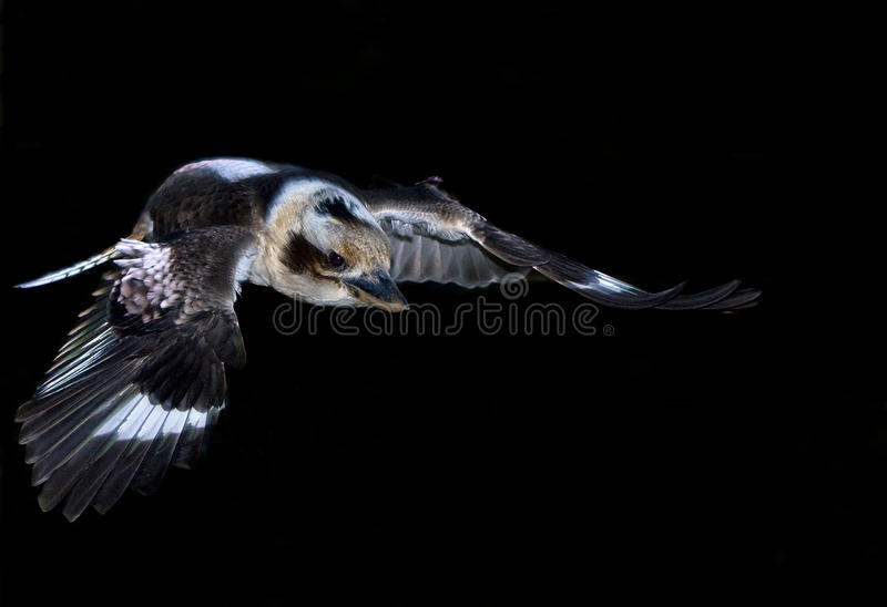 Kookaburra in flight. Flying kookaburra in selective light on a black background stock photography