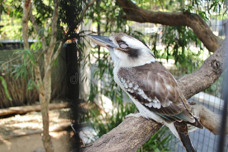 Kookaburra. Is a genus that includes four species of great kingfishers, living in Australia and New Guinea. They are well-known for their songs, which are very stock images