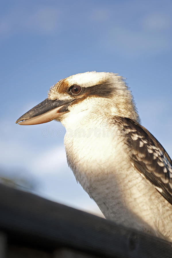 Download Kookaburra looking at you stock photo. Image of side - 39511904
