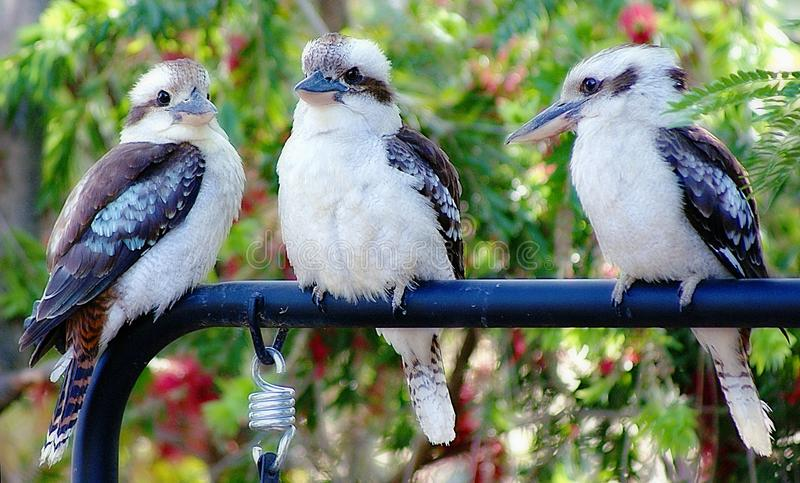 Kookaburra in my Garden. The laughing kookaburra is a bird in the kingfisher subfamily Halcyoninae. It is a large robust kingfisher with a whitish head and a stock photo