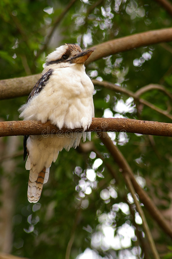 Kookaburra - nell'ambito di parte di sinistra immagini stock