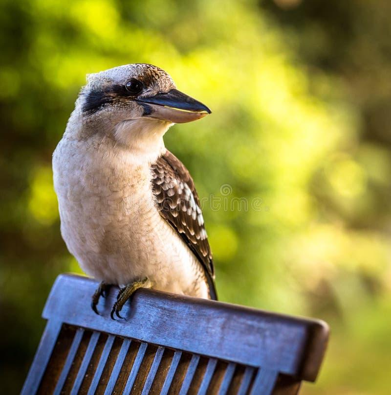 Kookaburra patrzeje dobro na zielonym tle fotografia stock