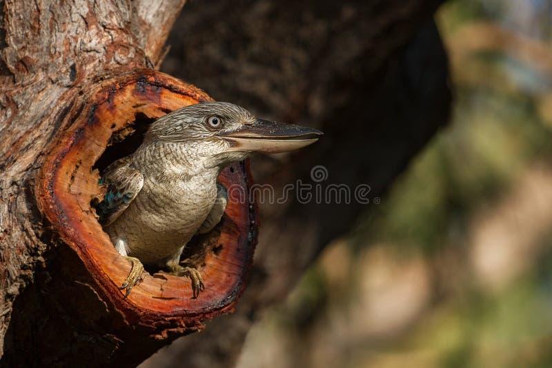 Kookaburra royalty free stock images