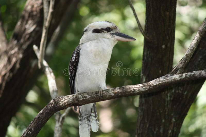 Kookaburra perched on branch royalty free stock photo