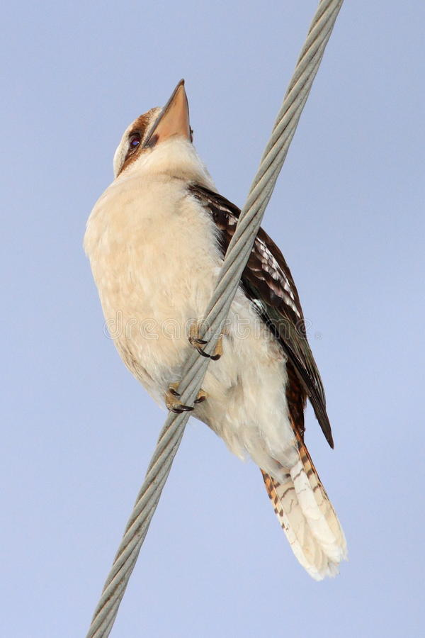 Kookaburra on power line stock images