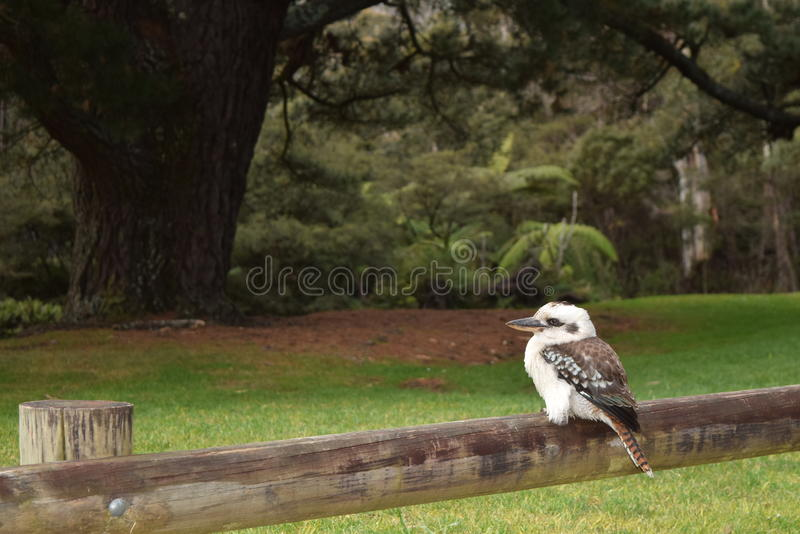 Kookaburra ptak zdjęcia royalty free