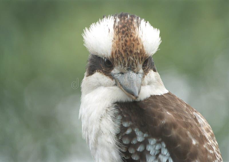 Kookaburra Riant Photo stock