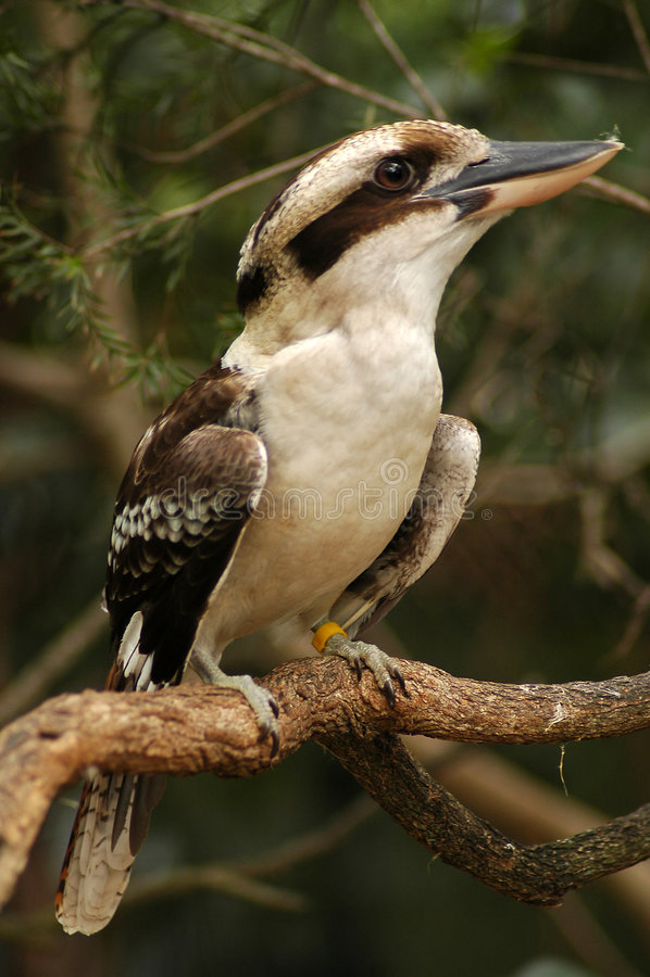 Kookaburra riant photographie stock