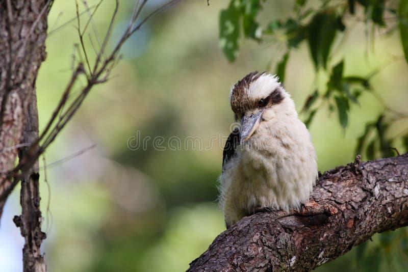 Kookaburra riant australien photo stock