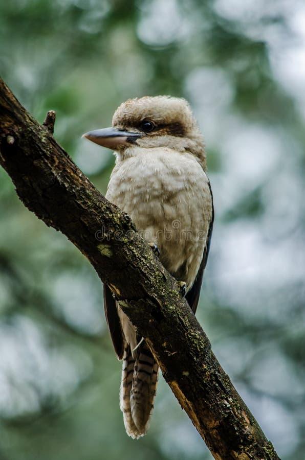 The Kookaburra stock photography