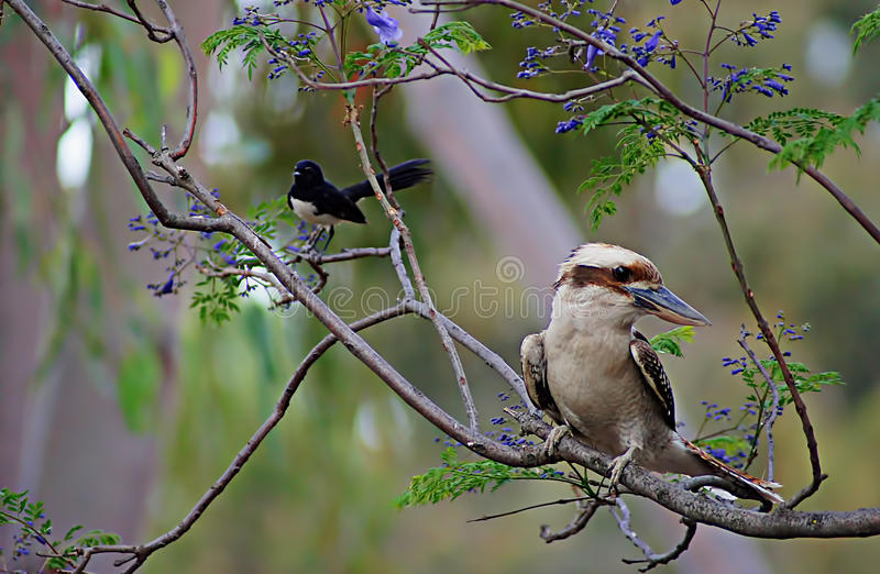Kookaburra Sitting in Tree. The laughing kookaburra is a bird in the kingfisher subfamily Halcyoninae. It is a large robust kingfisher with a whitish head and a stock photo