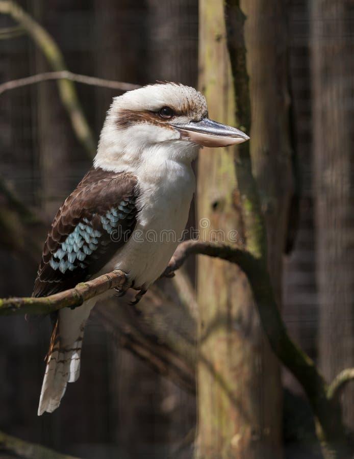Kookaburra umieszczał na gałązce zdjęcia royalty free