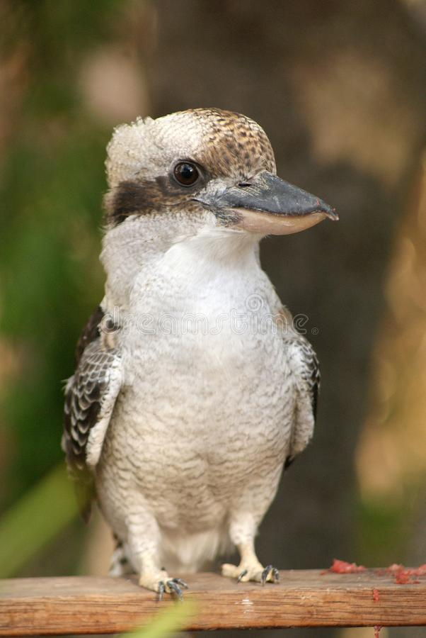 Kookaburra Up Close. The laughing kookaburra is a bird in the kingfisher subfamily Halcyoninae. It is a large robust kingfisher with a whitish head and a dark stock image