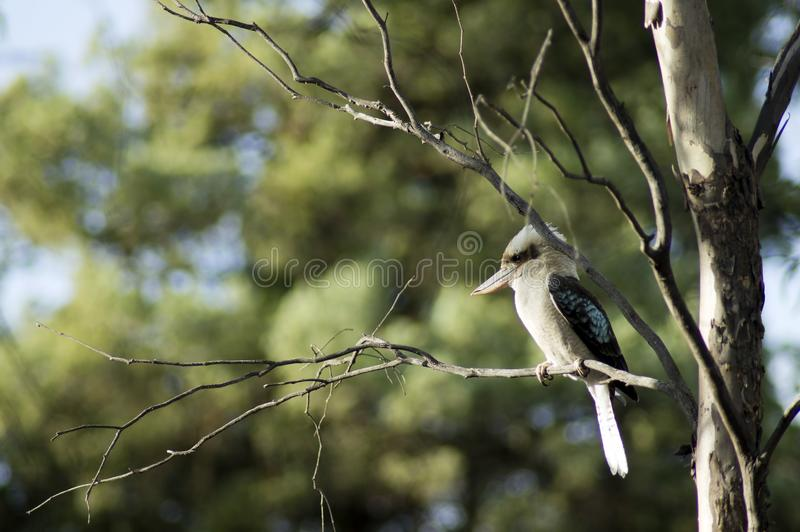 Kookaburra, Wilpena, SA, Australia obraz royalty free