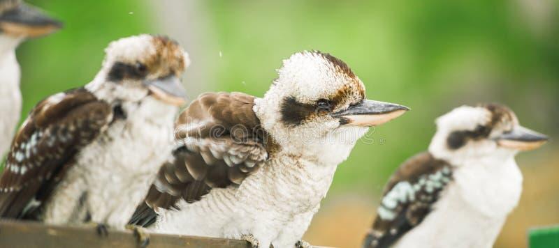 Kookaburras грациозно отдыхая в течение дня стоковые фото