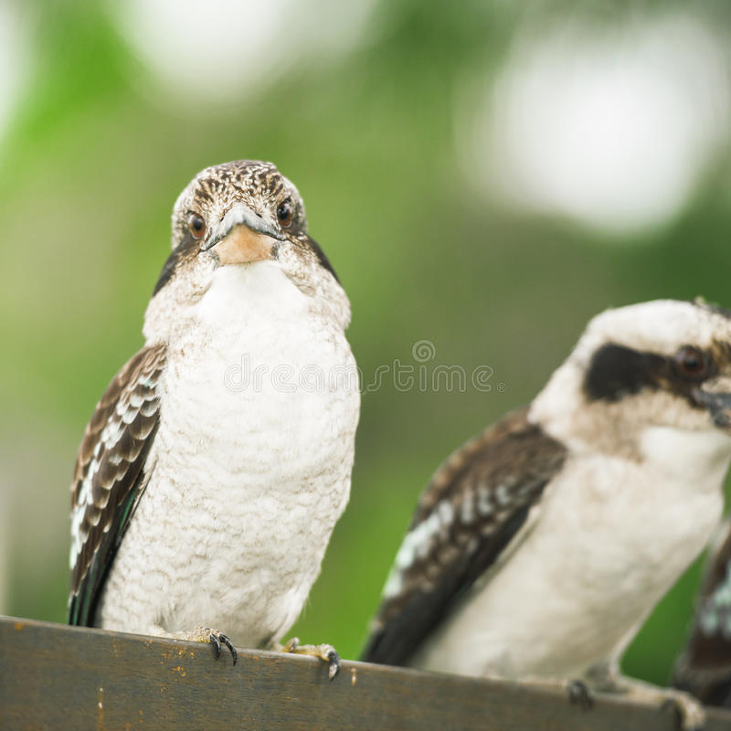 Kookaburras грациозно отдыхая в течение дня стоковое фото rf