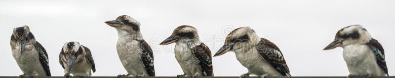 Kookaburras грациозно отдыхая в течение дня стоковое фото
