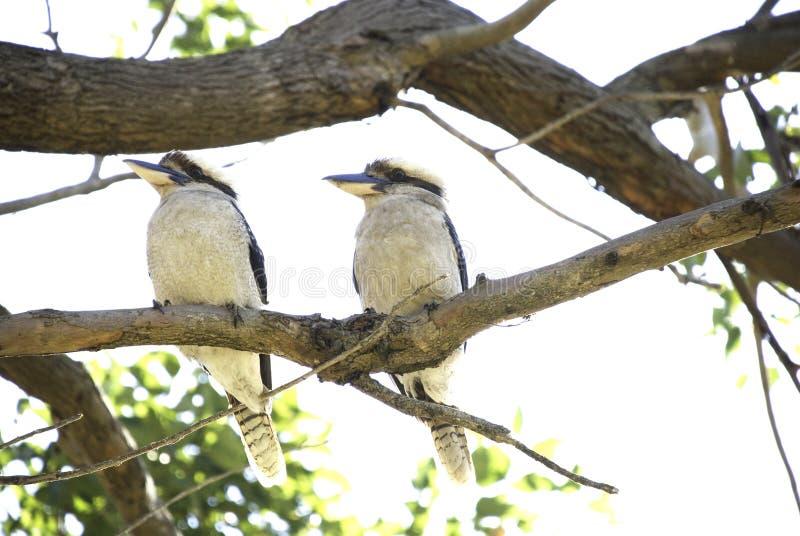 2 kookaburras сидя на ветви дерева стоковое фото