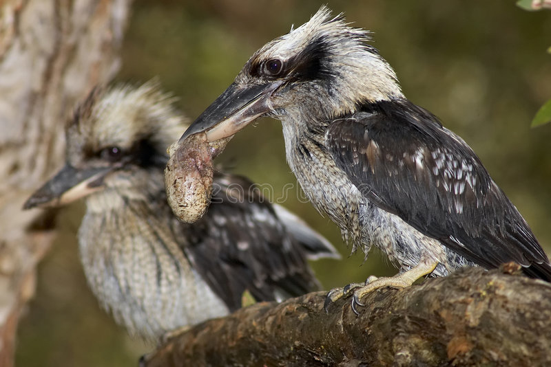 kookaburras стоковое изображение rf
