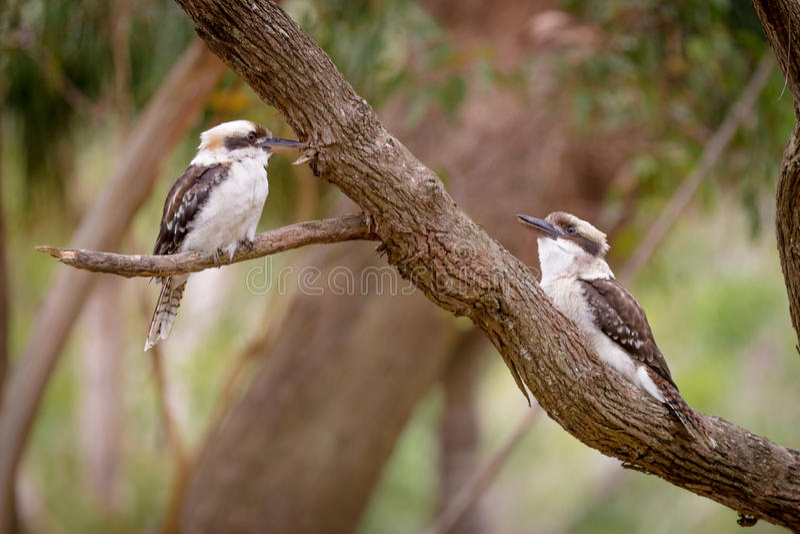 2 kookaburras стоковые фото
