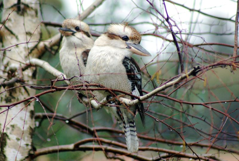 Kookaburras in my Garden. The laughing kookaburra is a bird in the kingfisher subfamily Halcyoninae. It is a large robust kingfisher with a whitish head and a royalty free stock image