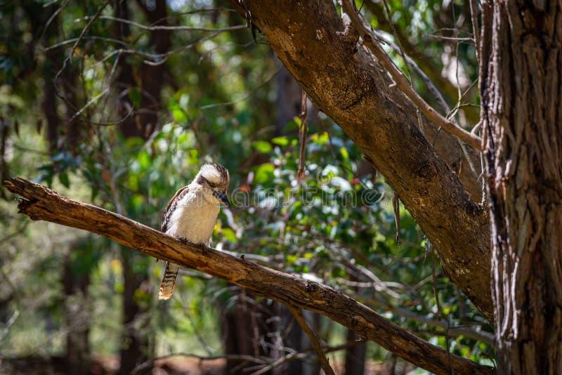 Kookaburras to ziemskie rybki z rodzaju Dacelo, pochodzące z Australii obraz royalty free
