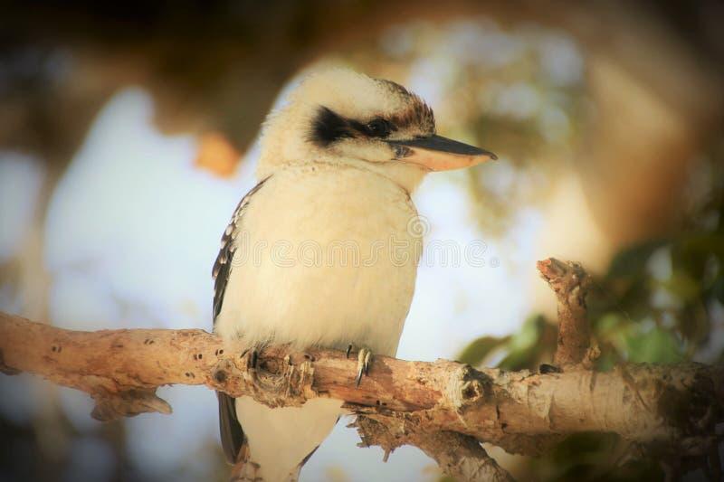 Kookaburru que senta-se em um ramo no final da tarde fotos de stock