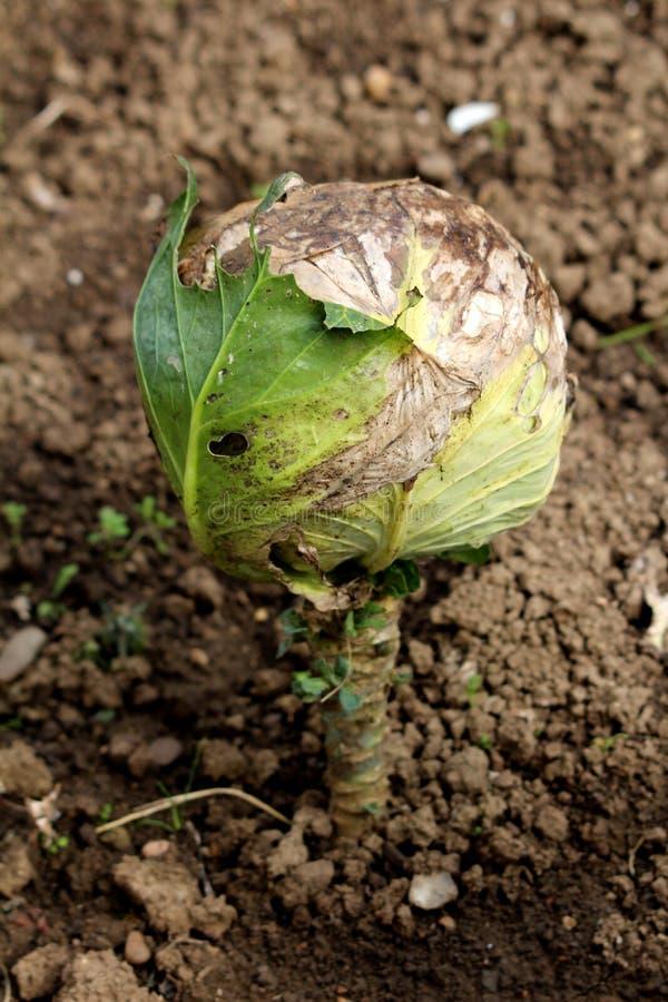 Kool of Geleid kool blad groen jaarlijks plantaardig die gewas reeds volledig in koolhoofd wordt gevormd met gedeeltelijk droge b stock afbeeldingen