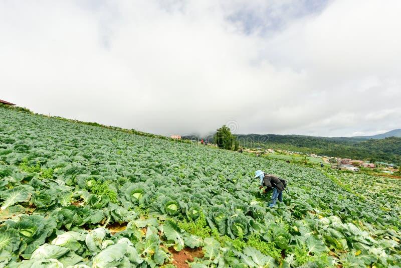 Koolgebieden met arbeiders die kool in de landbouwgrond oogsten royalty-vrije stock foto