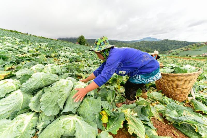 Koolgebieden met arbeiders die kool in de landbouwgrond oogsten stock foto