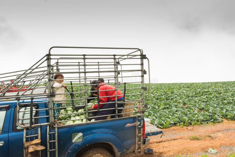 Koolgebieden met arbeiders die kool in de landbouwgrond oogsten royalty-vrije stock fotografie