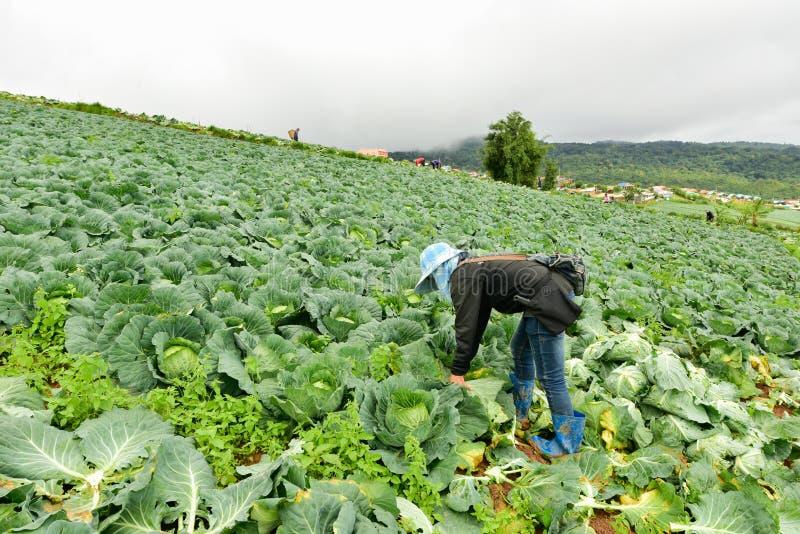 Koolgebieden met arbeiders die kool in de landbouwgrond oogsten, 3 Juni, 2016 royalty-vrije stock fotografie