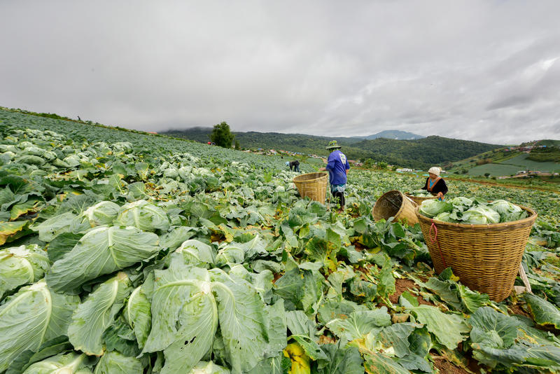 Koolgebieden met arbeiders die kool in de landbouwgrond oogsten, 3 Juni, 2016 royalty-vrije stock afbeeldingen