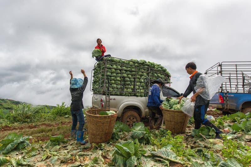 Koolgebieden met arbeiders die kool in de landbouwgrond oogsten, 3 Juni, 2016 royalty-vrije stock foto's