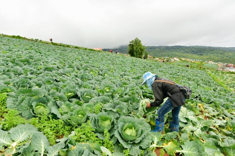 Koolgebieden met arbeiders die kool in de landbouwgrond oogsten, 3 Juni, 2016 stock foto