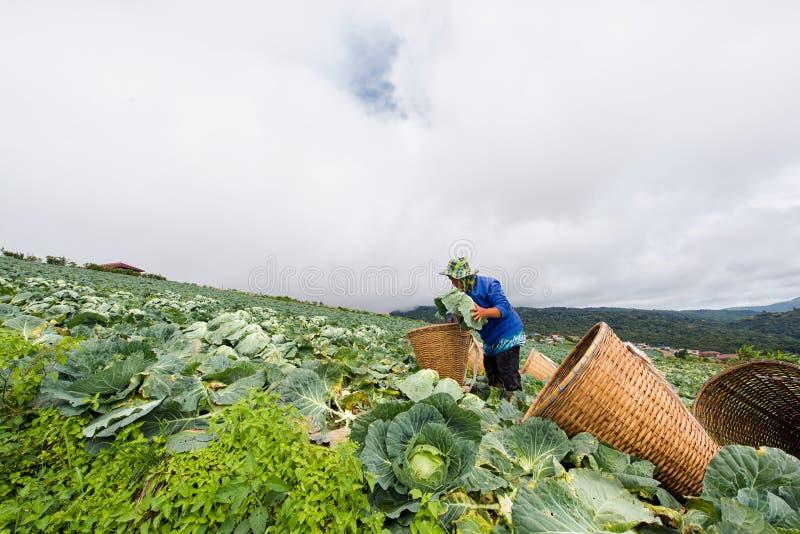 Koolgebieden met arbeiders die kool in de landbouwgrond oogsten, 3 Juni, 2016 stock afbeelding