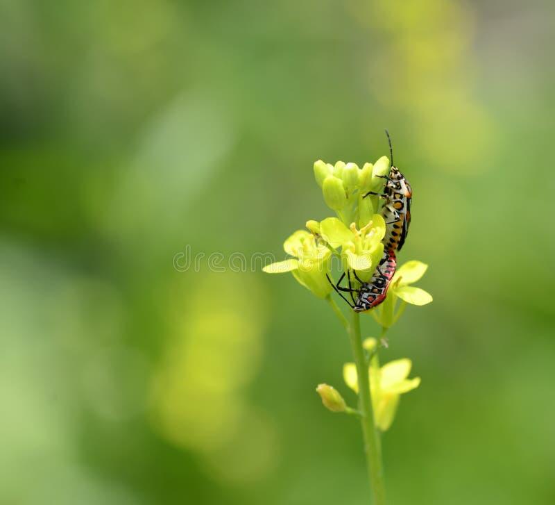 Koolinsect stock foto