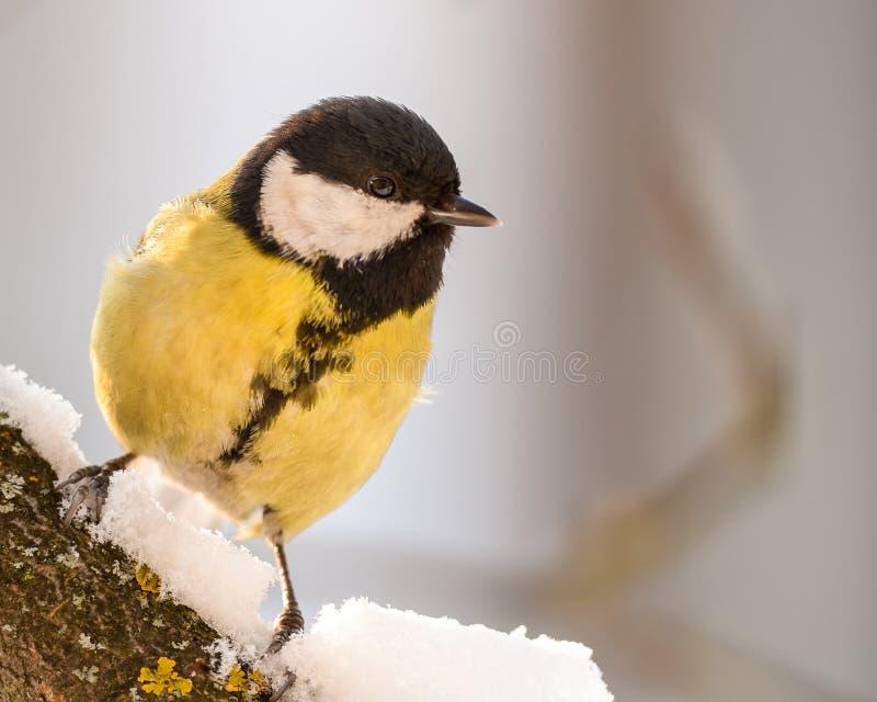 Koolmees op een sneeuwtak royalty-vrije stock afbeeldingen
