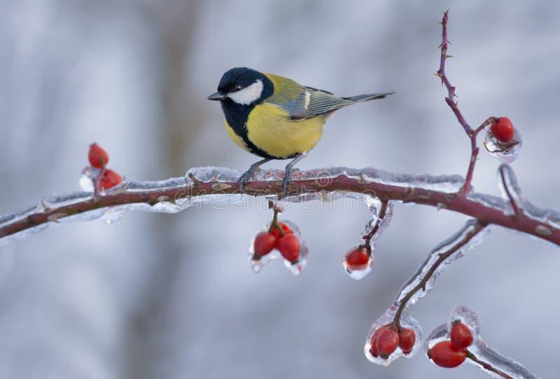 Koolmees op ijzige tak met ijzige bessen in de winter wordt neergestreken die royalty-vrije stock foto's