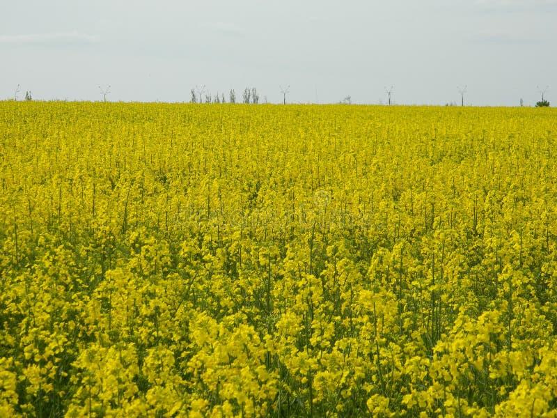 Koolzaad, Canola, Biodieselgewas royalty-vrije stock afbeelding