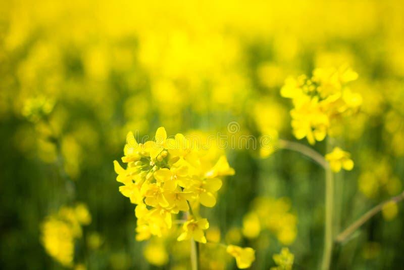 Koolzaad, Canola, Biodieselgewas Het bloeien het close-up van canolabloemen Verkrachting op het gebied in de zomer Bloeiend raapz stock fotografie