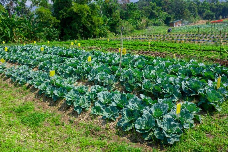 Koolzaailingen in een tuin worden geplant die royalty-vrije stock afbeelding